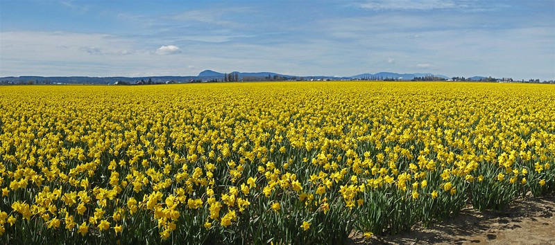 ac-Daffodil Paradise
