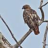 nc-Walnut Creek Hawk