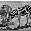 ag-Zebras by Don Loeske tie 3rd.jpg
