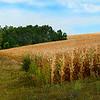 ac-Corn Field by Steve Barker 3rd.jpg