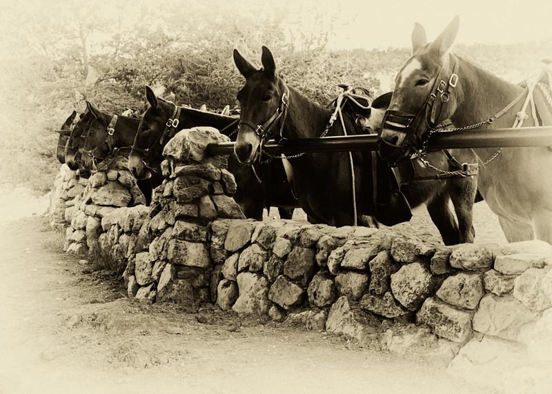 pm-Mule Rides by Larry Headley 2nd.jpg