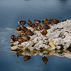nc-Duck Dynasty by Gary Prill 3rd.jpg