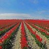 o-red tulip field pan