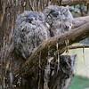 n-owlets.jpg 3rd Sandy Wentworth