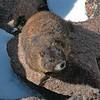 n-marmot