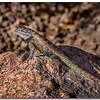 n-spiny lizard