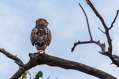 n-young hawk