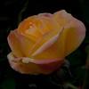 n-romantic rose