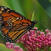 n-monarch on swamp milkweed