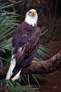 n-bald eagle