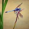 o-dragonflyongold
