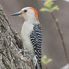 n-redbellied woodpecker