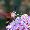 N - Hummingbird Moth
