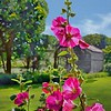 C - Backlit Hollyhocks on the Farm