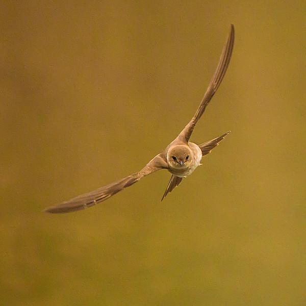 N - Swallow in flight 2nd Stephen Barker