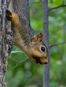 N - Treed Squirrel