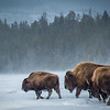 N - -Bison-In-The-Snow