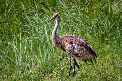 N - Sandhills Crane
