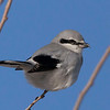 N - White And Black Warbler-