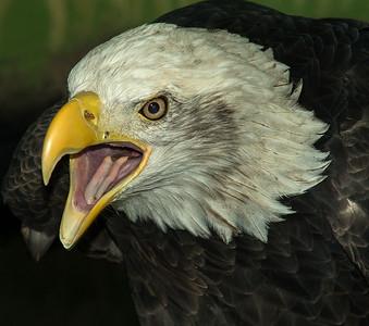 N - #2 Screaming-Eagle