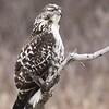 A - Broad Wing Hawk