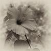 om-Antique Hibiscus