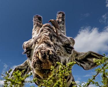 Larry Headley Giraffe and friends
