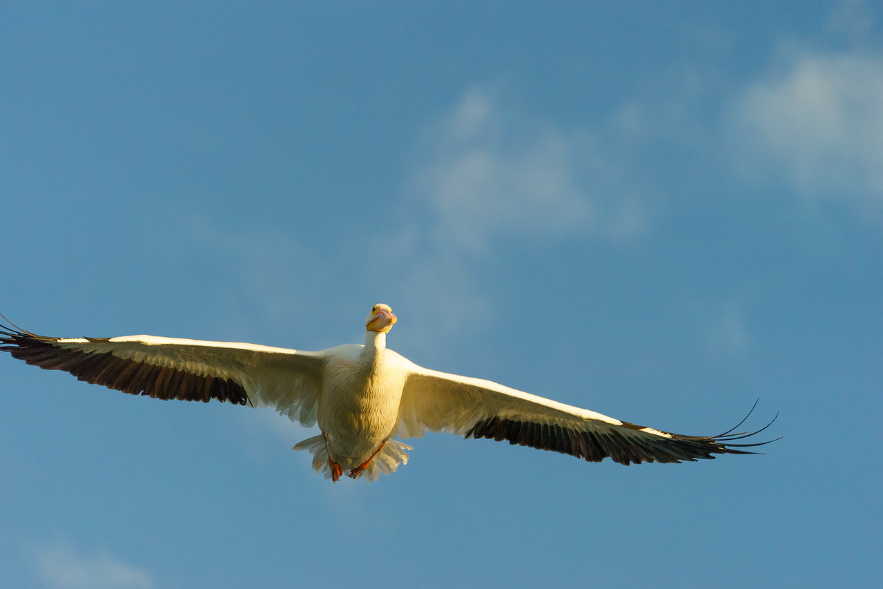 White Pelican - Third Place