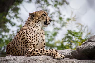 Cheetah  -  Third Place