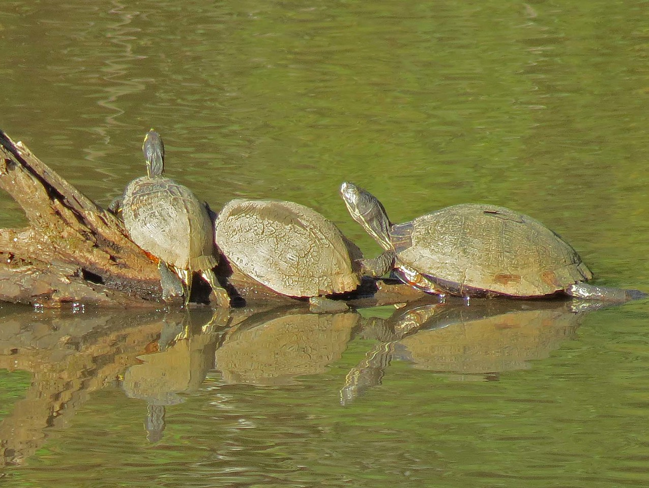 Muddy Turtles
