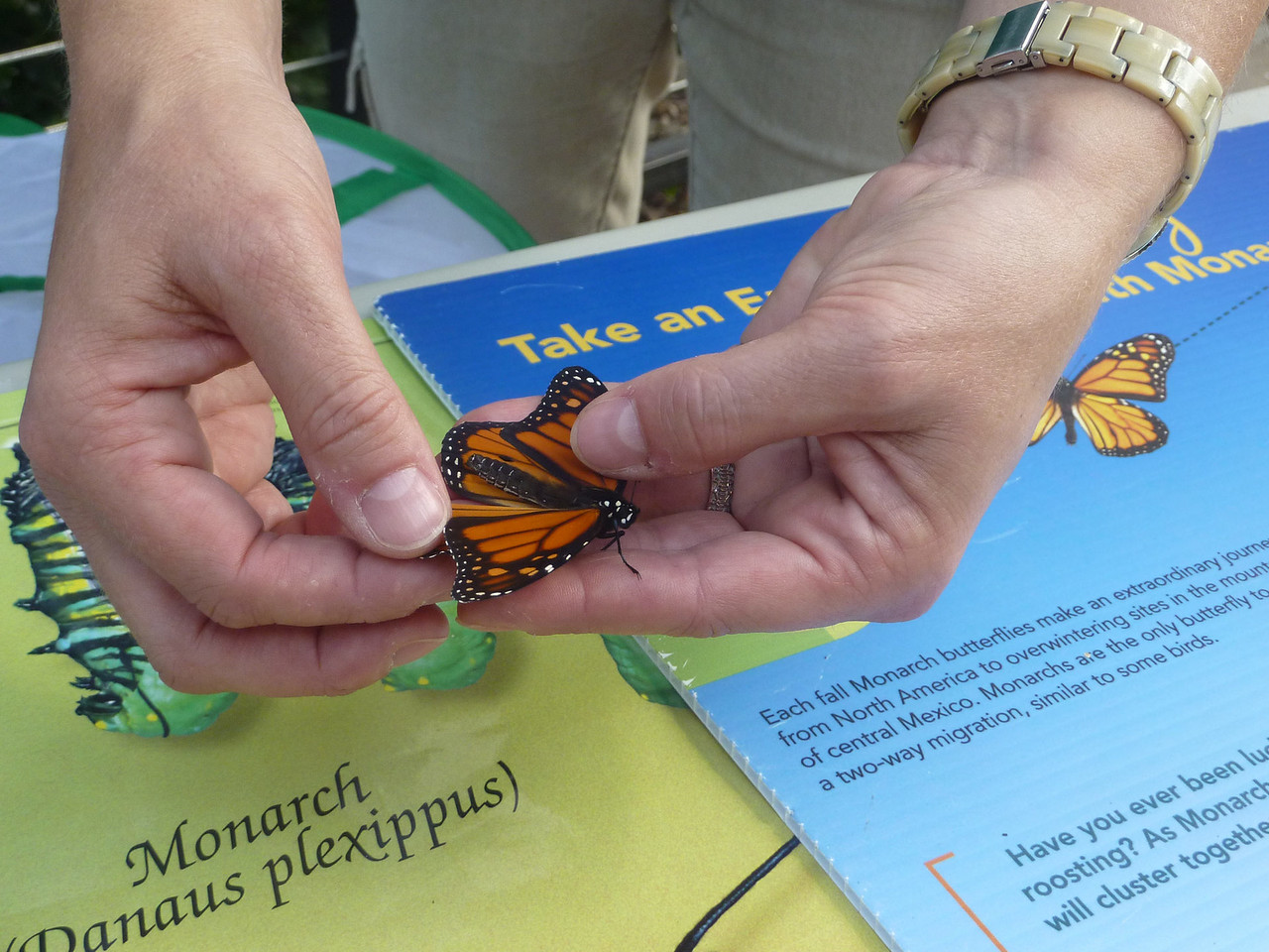 Tagging Monarchs - Honorable Mention