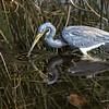 Thirsty Blue Heron - Third Place