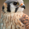 American Kestrel Watching Me - First Place