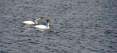 Wild Swans - Third Place Nature