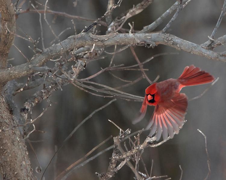 Cardinal Dive  -  Chris Amberg  -  First Place