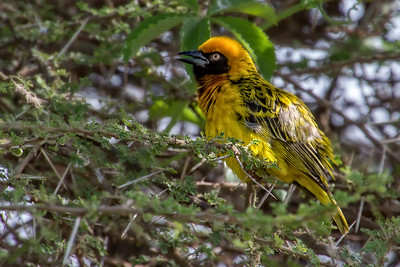 African Weaver	by Larry Headley
