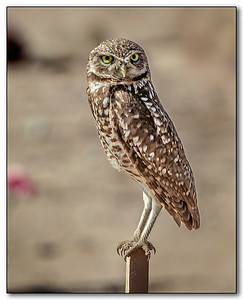 Burrowing Owls	by Don Loseke