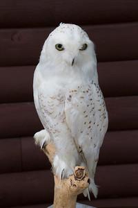 A - Stuffed Owl