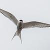A - Artic Tern