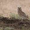 A (1) - Burrowing Owl And Its Burrow