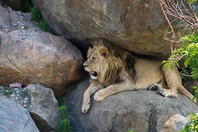 Lion King  -  Larry Headley