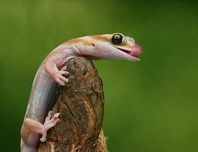 Lovely Water-Velvet Gecko  -  First Place  -  Nikki McDonald