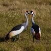 Crowned Cranes  -  Terry Turner