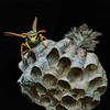 Paper Wasp and Nest  -  Second Place  -  Nikki McDonald