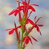 N - Cardinal Flower