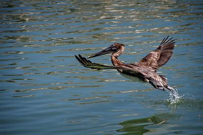 N(1) - Pelican