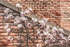 Star Magnolia against a brick wall - filtered