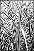Japanese silver grass - filtered