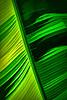 Leaf detail, Musa basjoo, hardy banana - filtered