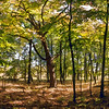 Photomerge - Venerable maple tree in early autumn - filtered version